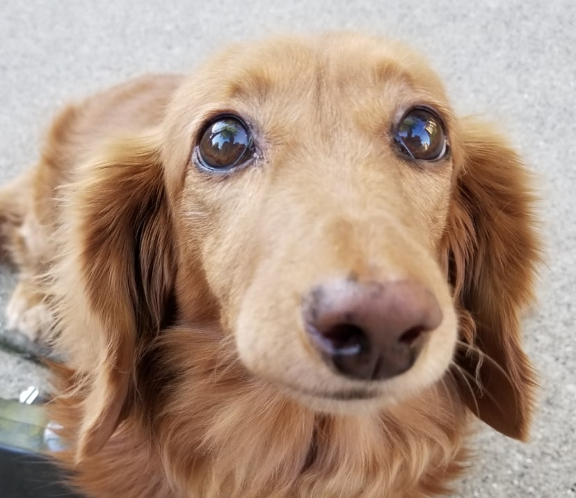 Lola, a 12 pound miniature long-haired dachshund sitting on the sidewalk, looking into the camera. She's cute!